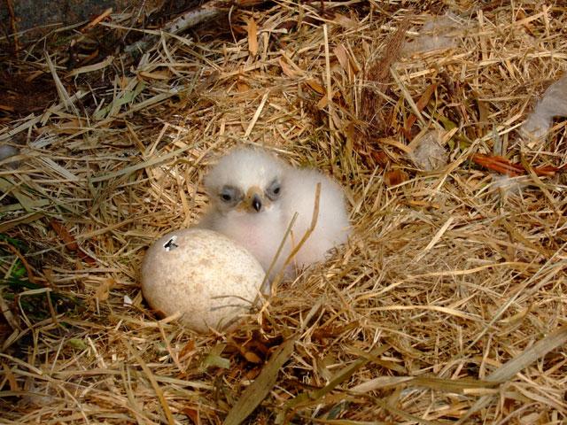Golden Eagle Fact Sheet  NYS Dept of Environmental