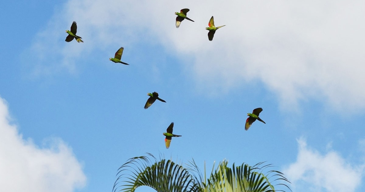 Urban parakeets could save species from extinction