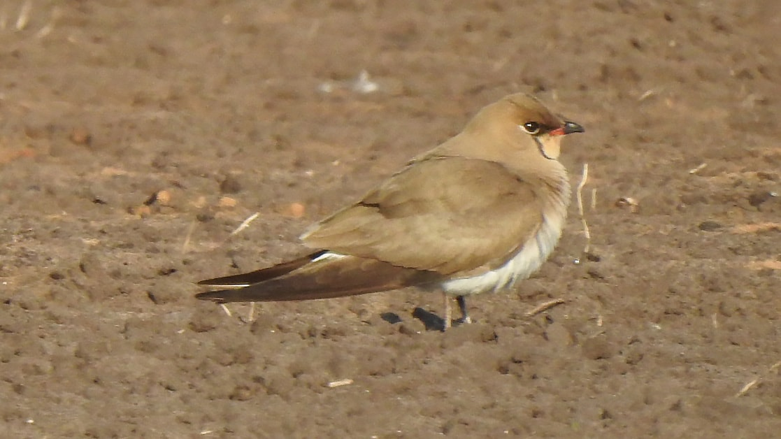 Catching up with a Collared Pratincole