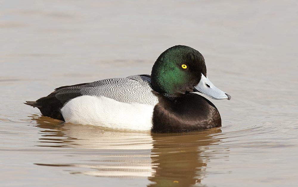 Bycatch driving Greater Scaup decline in Europe