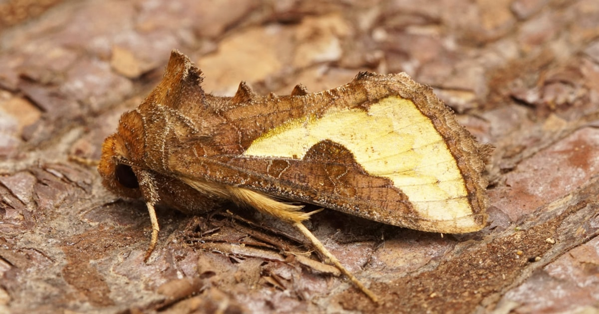 Moth and butterfly news: September 2020