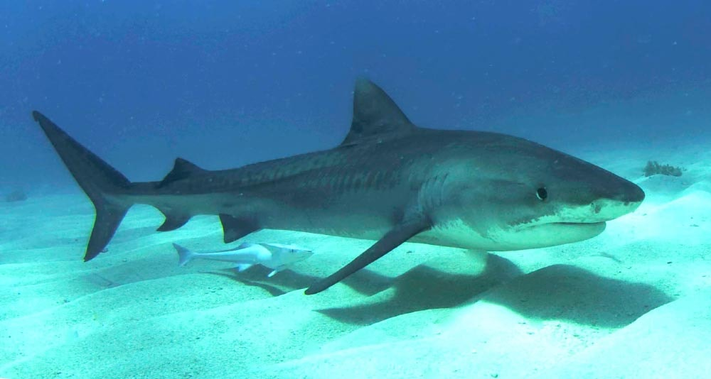 Snacks from the sky: Tiger Sharks eat migrant songbirds