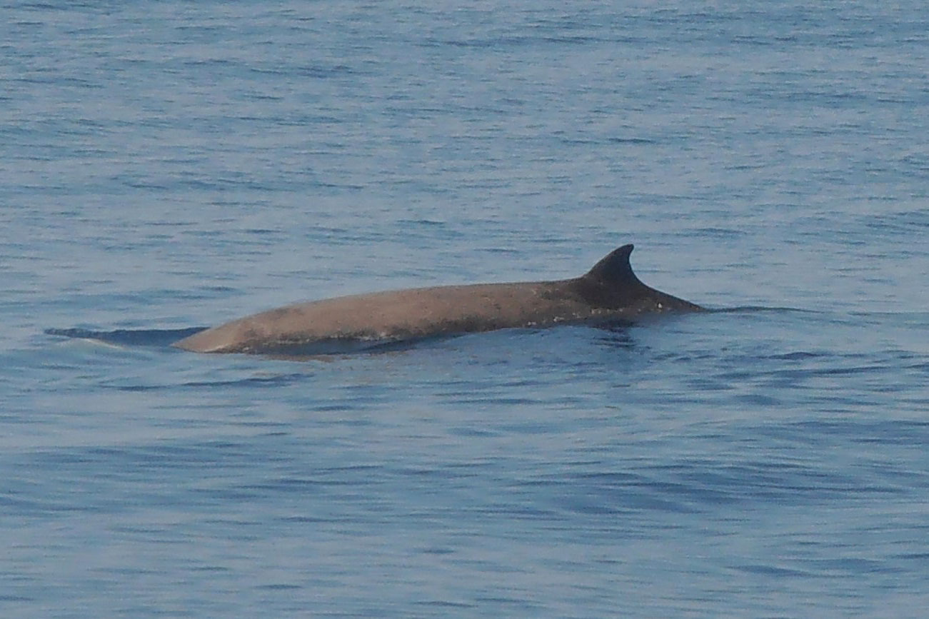 Beaked whales' remarkable diving abilities revealed