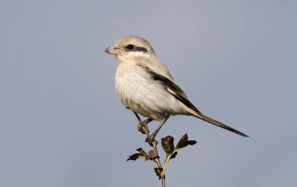 Rarity finders: Steppe Grey Shrike in Suffolk
