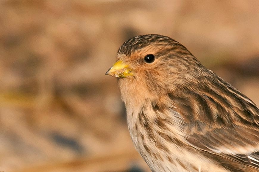 Common Linnet, Twite and Lesser Redpoll photo ID guide