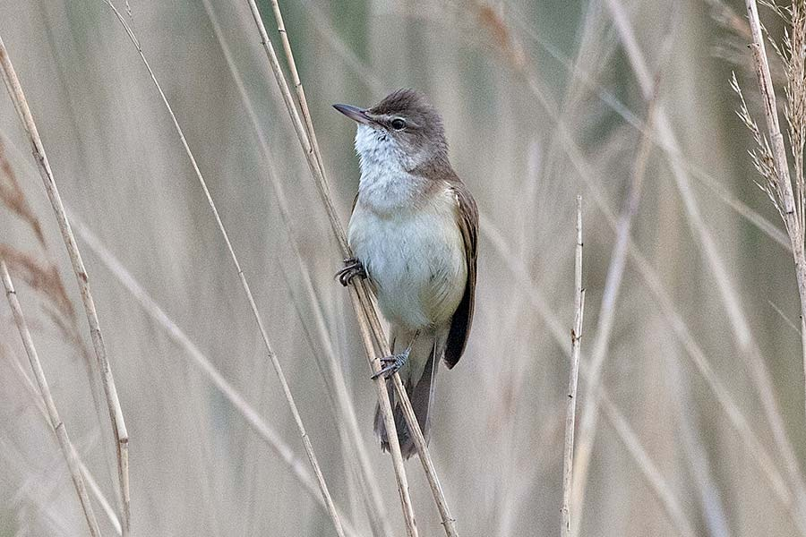 Great Reed Warbler tracked migrating at unprecedented heights
