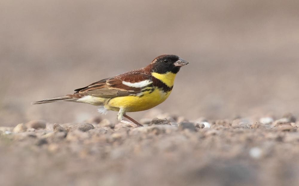 Signs of recovery for Yellow-breasted Bunting in Russia