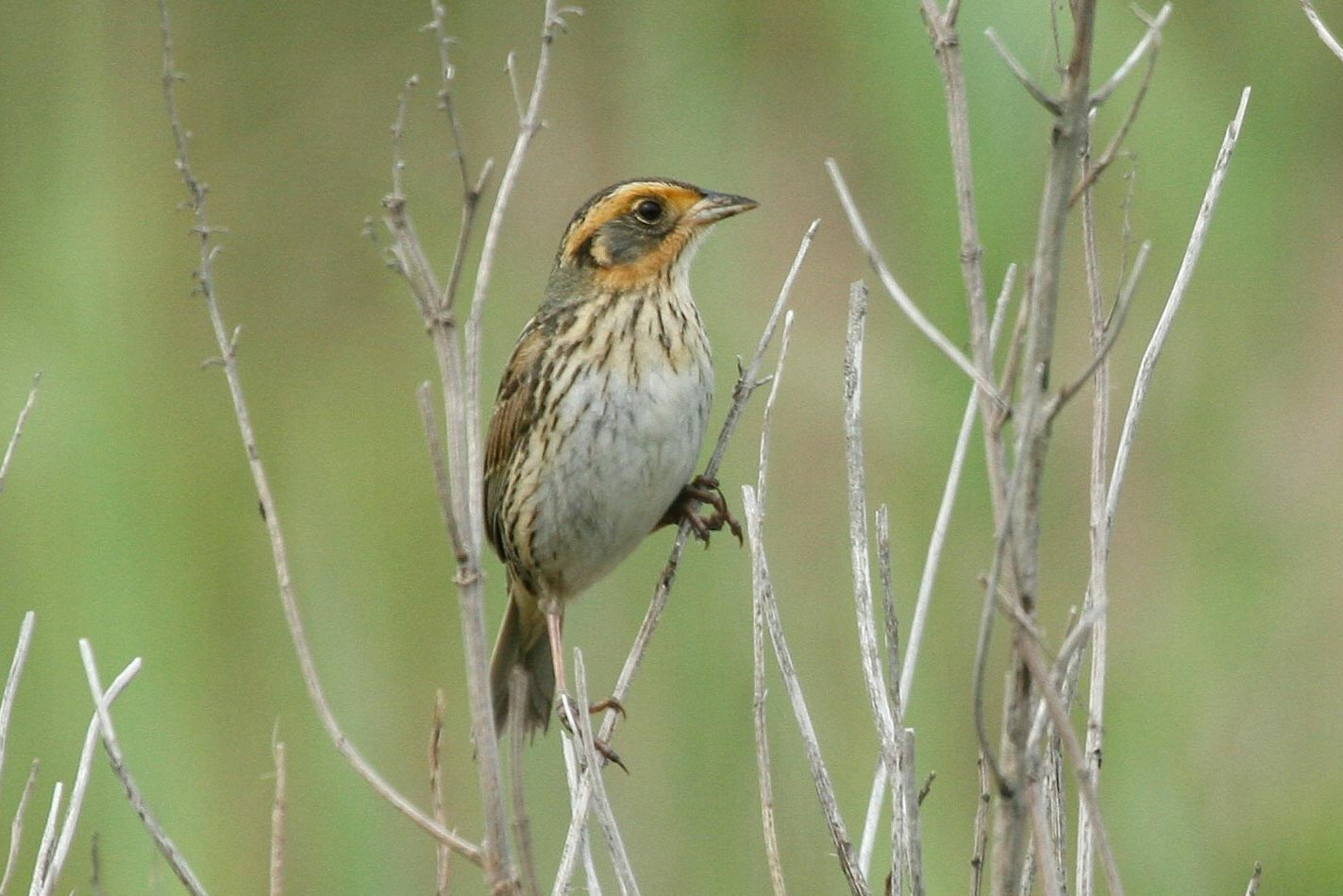 Climate change puts endangered sparrows at risk