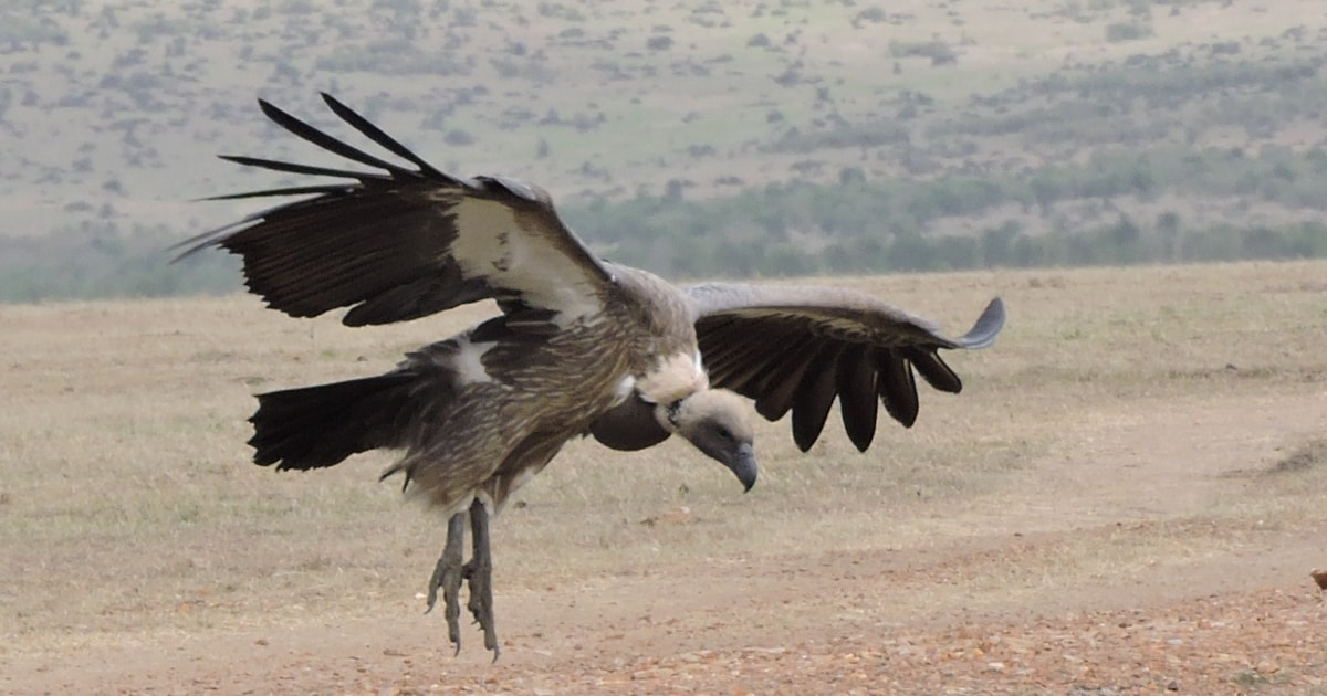Another mass poisoning of vultures in southern Africa