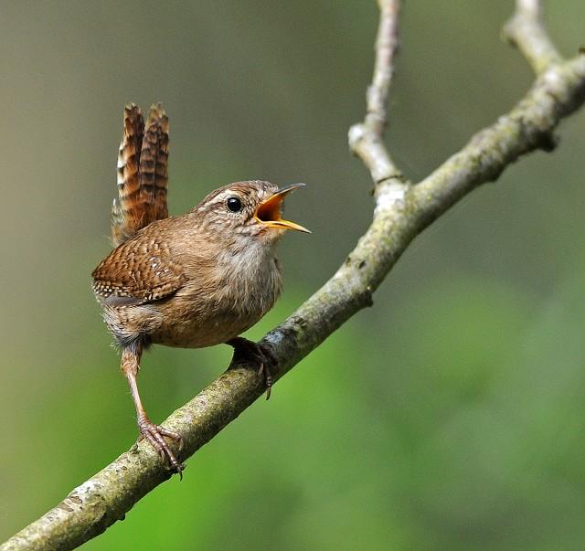 Соловей птичка невеличка а как запоет лес
