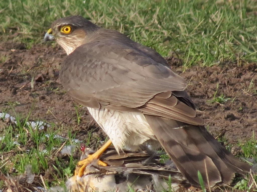 Eurasian sparrowhawk immature