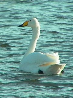 Whooper Swan by Nic Lindsell - BirdGuides 252389d829