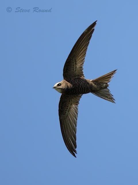 Pallid Swift by Steve Round - BirdGuides