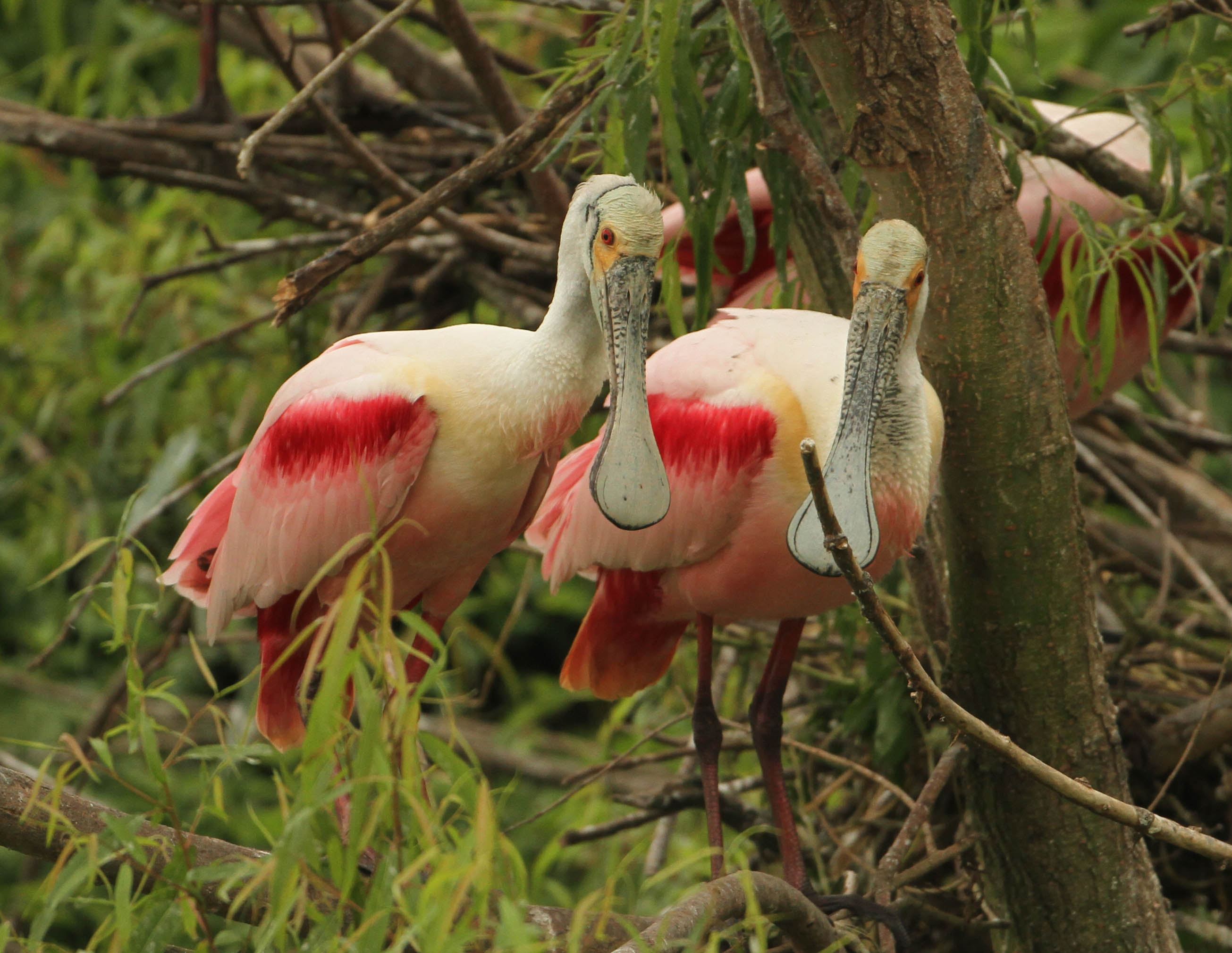 Everglades waterbirds enjoy best breeding season since 1940s