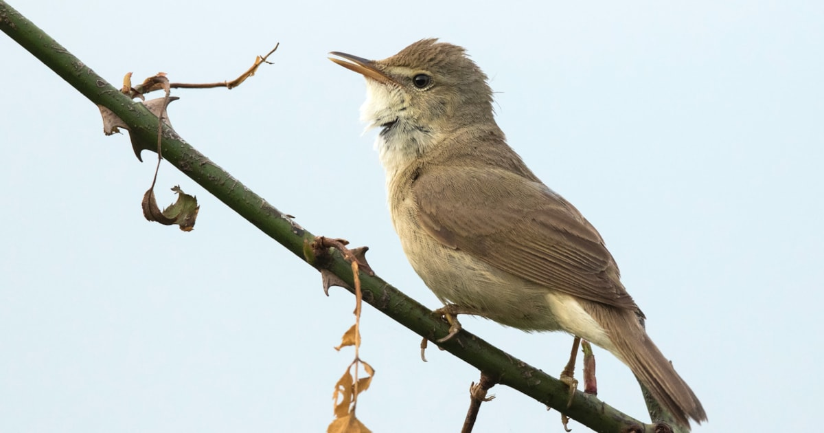 Unprecedented Number Of Blyth S Reed Warbler Reach Britain Birdguides