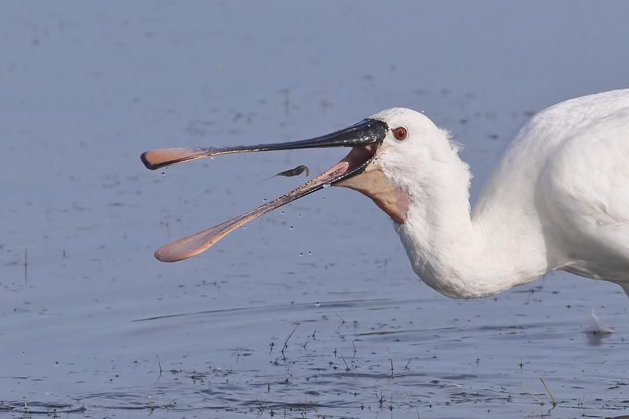 Continental herons set to nest at Burton Mere Wetlands