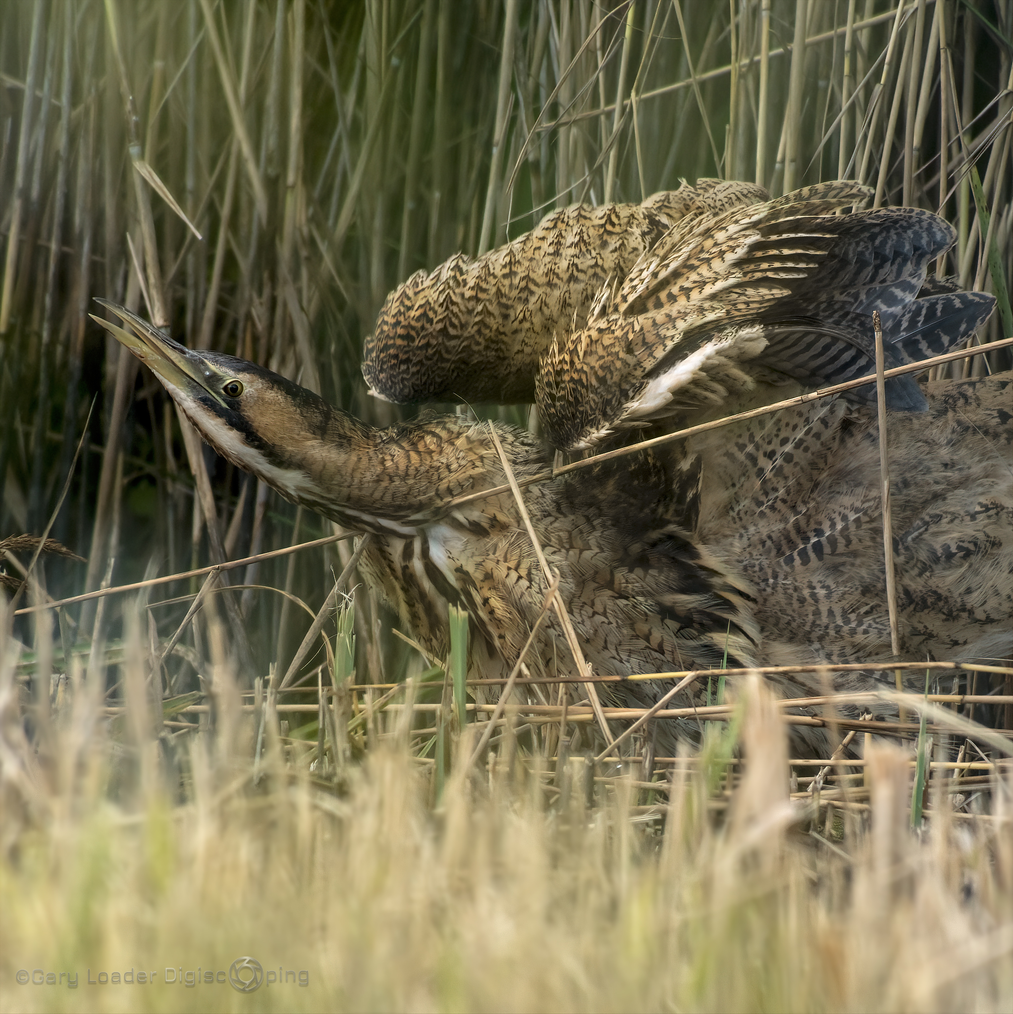 Bittern breeds on Isle of Wight for the first time
