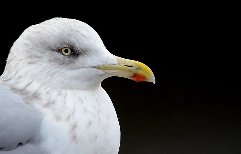 Man shoots gull dead after it ate his fish