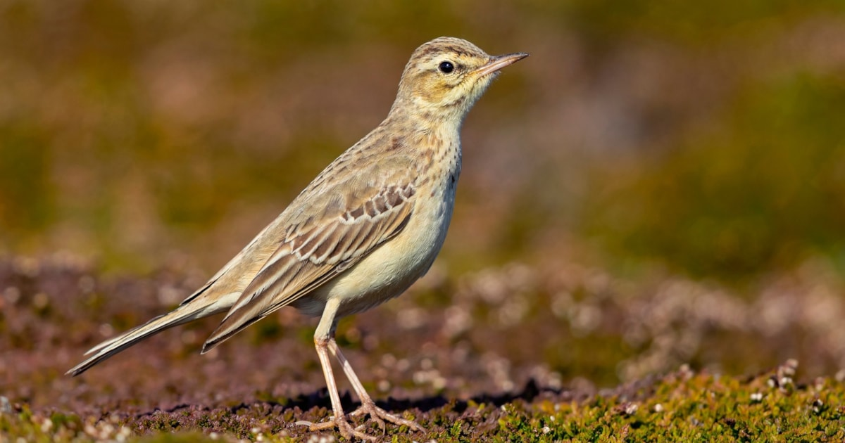 Tawny Pipits prefer to migrate nocturnally