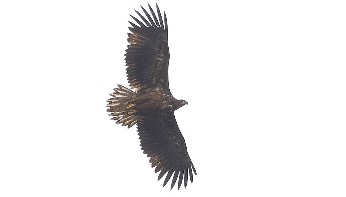 Isle of Wight eagle returns from Scottish holiday