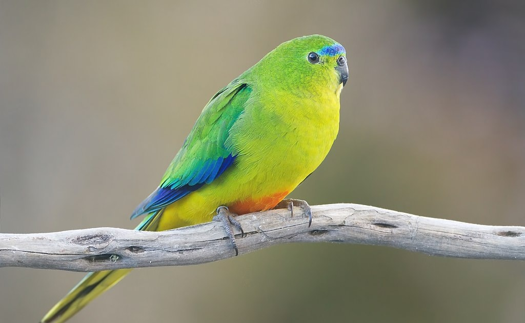 New vaccine could help save Critically Endangered parrot