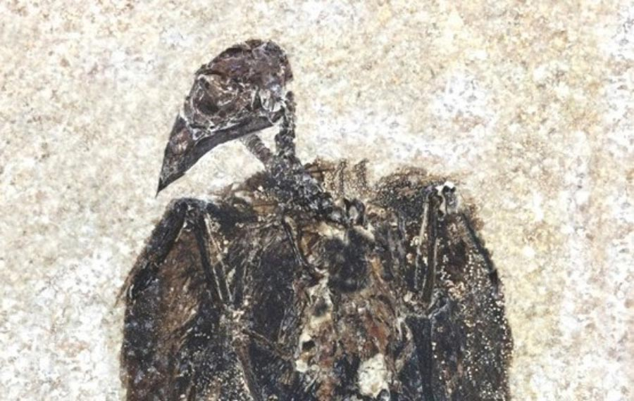 Scientists discover oldest-known passerine fossil