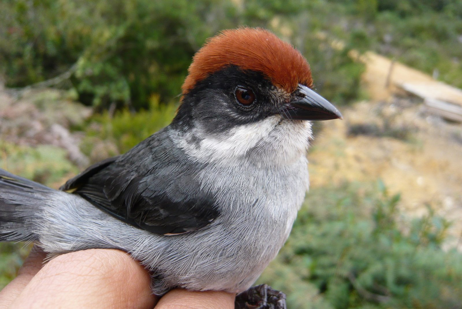 Critically Endangered Colombian bird rediscovered after 47 years