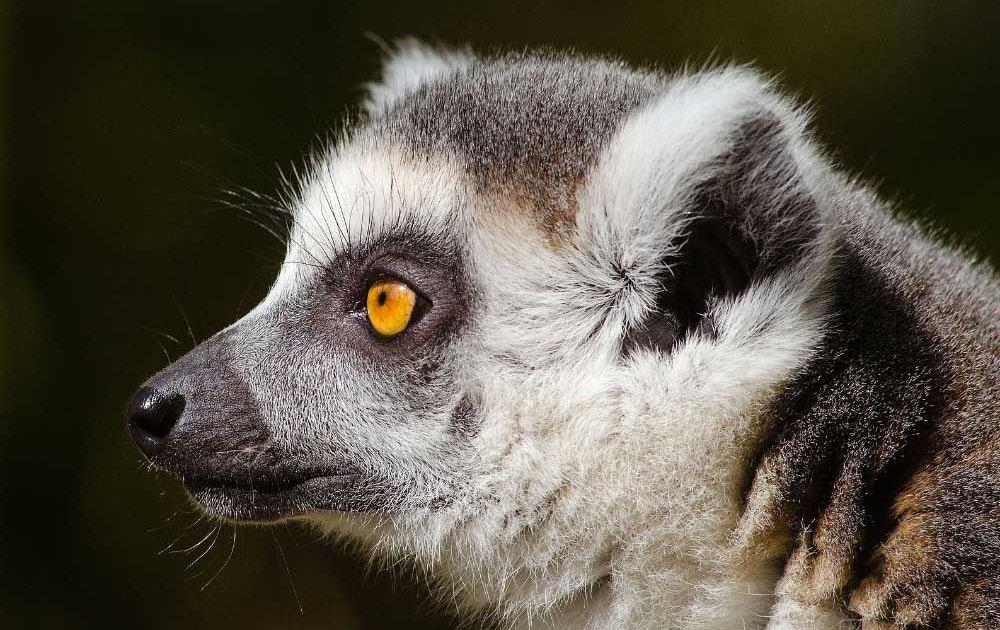 Half of Africa's primates officially threatened with extinction