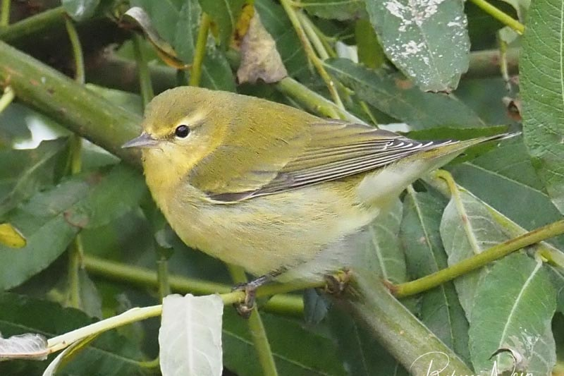 Tennessee Warbler causes a stir in Shetland