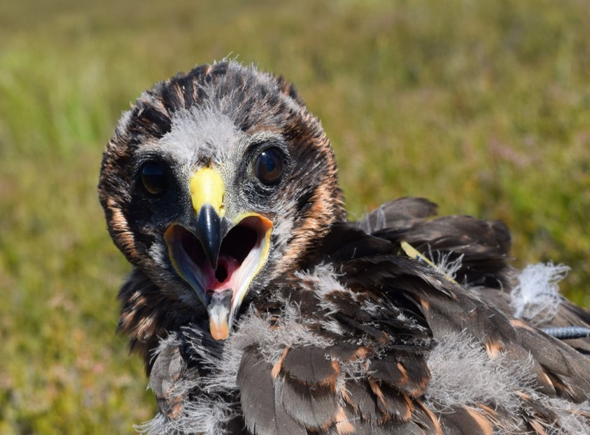 Another Scottish Hen Harrier goes missing