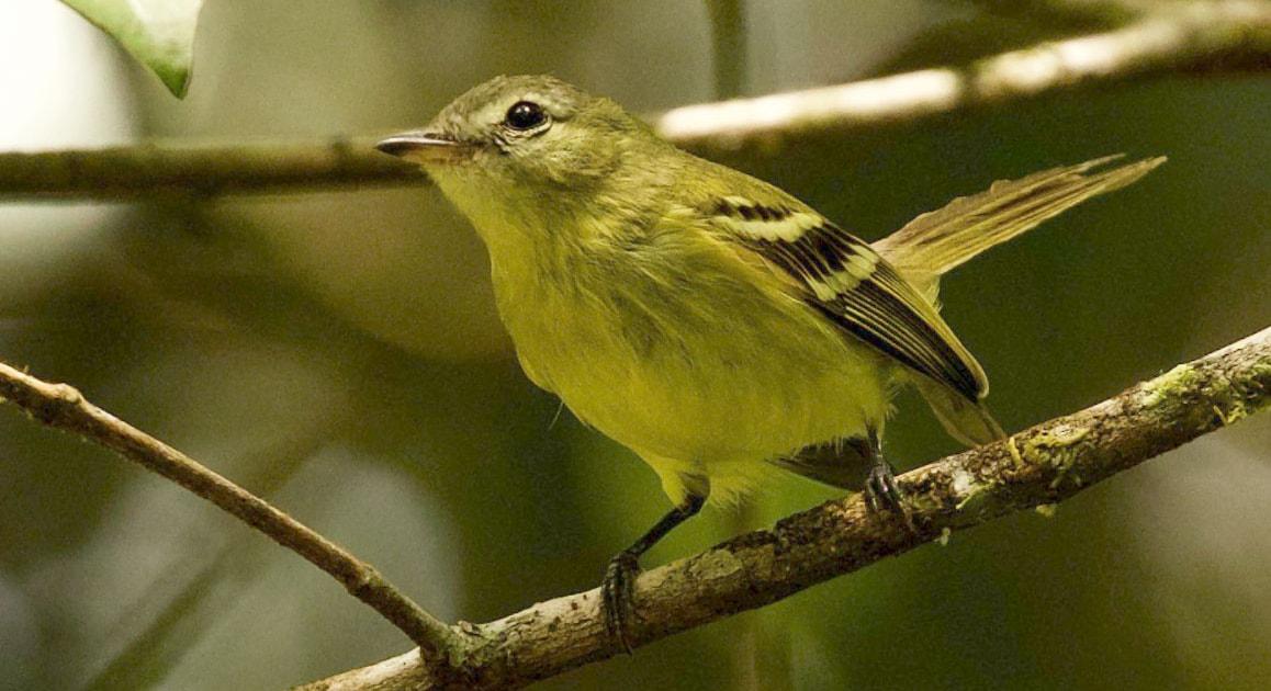 Flycatcher 'rediscovered' in Venezuela