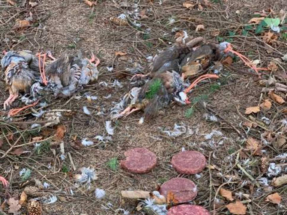 Bird carcasses found as part of suspected poisoning attempt