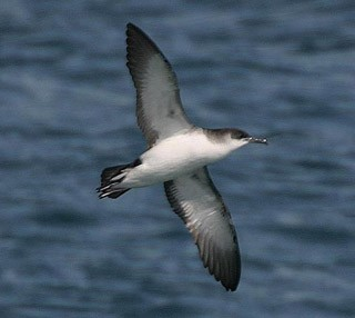 Focus On: Identifying Yelkouan Shearwaters - BirdGuides