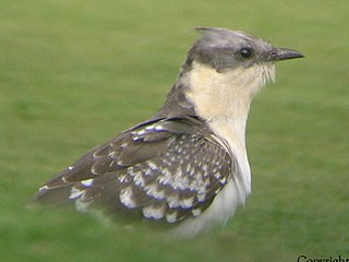 Rarity Finders Great Spotted Cuckoo In West Sussex