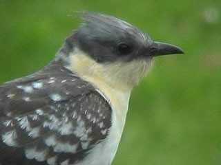Great Spotted Cuckoo Worthing W Sussex