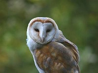 Barn Owl Diaries Part 2