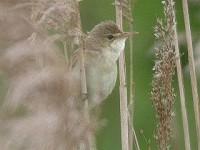 Articles Marsh Warbler - Myths, Mimics & Matrices