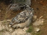 Articles Eagle Owls in the Forest of Bowland