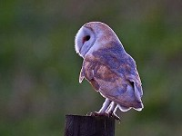 Barn Owl Diaries Part 3