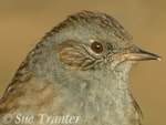 Focus On The Dunnock: More Interesting Than You Think!