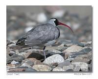Birding abroad Bird Photography in Tibet
