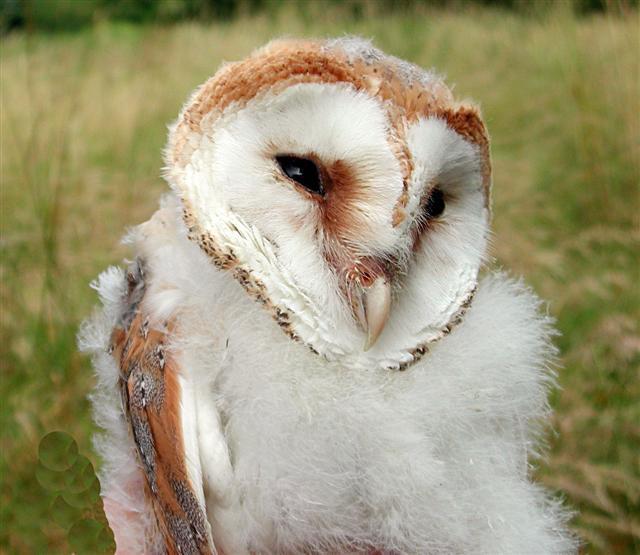100th Barn Owl