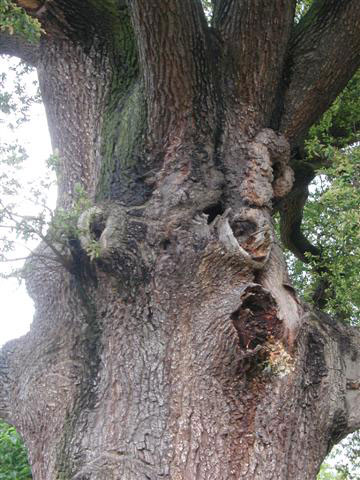 Oak with nest hole