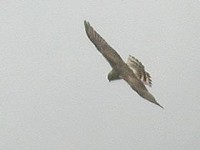 Rarity finders Pallid Harrier at Dungeness