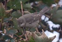 Focus On Barred Warbler