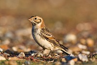 BTO French Lapland Bunting pitches up in Wales