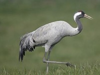 Articles An Influx of Common Cranes into the UK in Early 2002