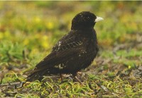 British Birds Black Lark: New to Britain