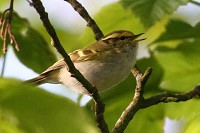 Articles Singing Pallas's Warbler in Cornwall