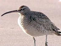 Articles Possible Hudsonian Whimbrel – Frodsham (Cheshire), 26th June 2002